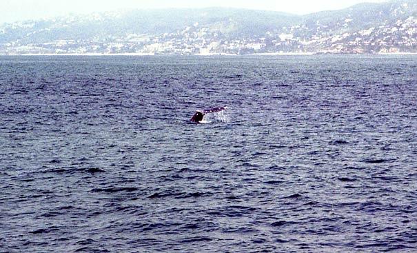 А вот и первый кит, Дана Пойнт (Dana Point)