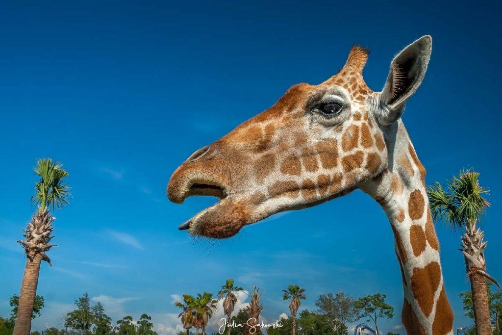 Как длинен у жирафа язык