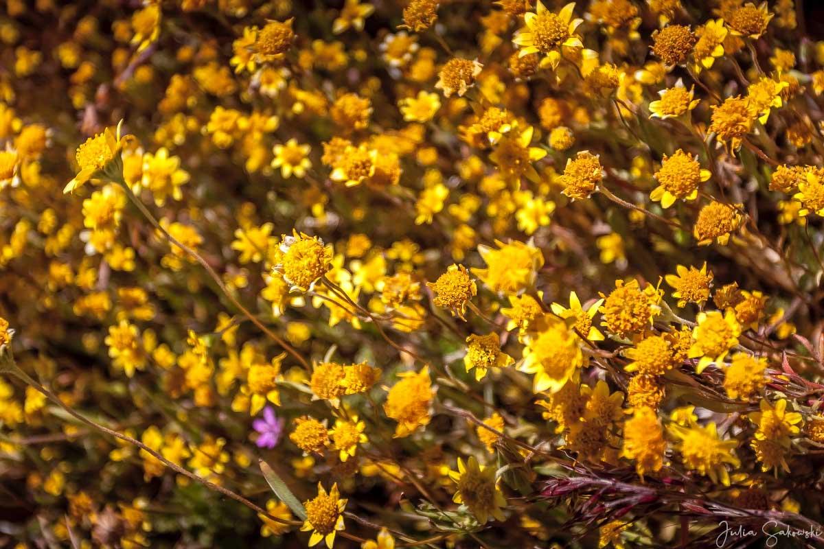 Ластения калифорнийская | Lasthenia californica