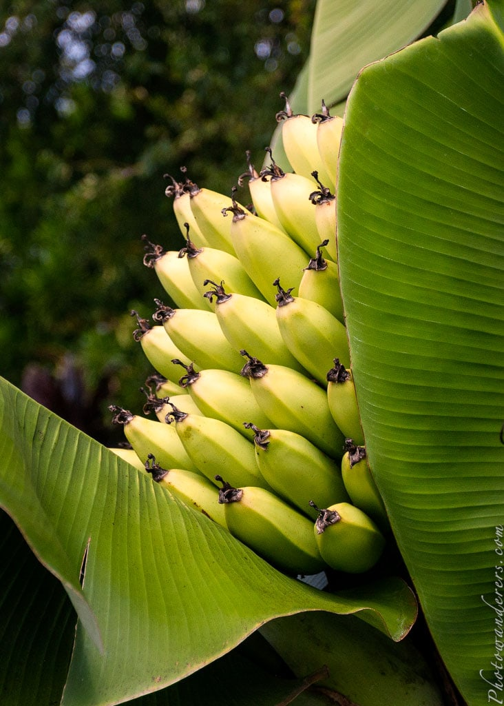 Соцветие бананов | Banana Inflorescence