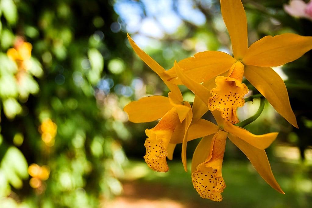 Желтые орхидеи | Yellow orchids
