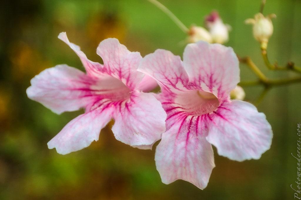 Розовые цветы | Pink flowers