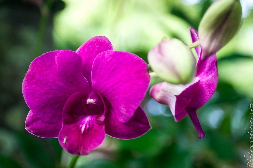Орхидея Дендробиум | Dendrobium Orchid