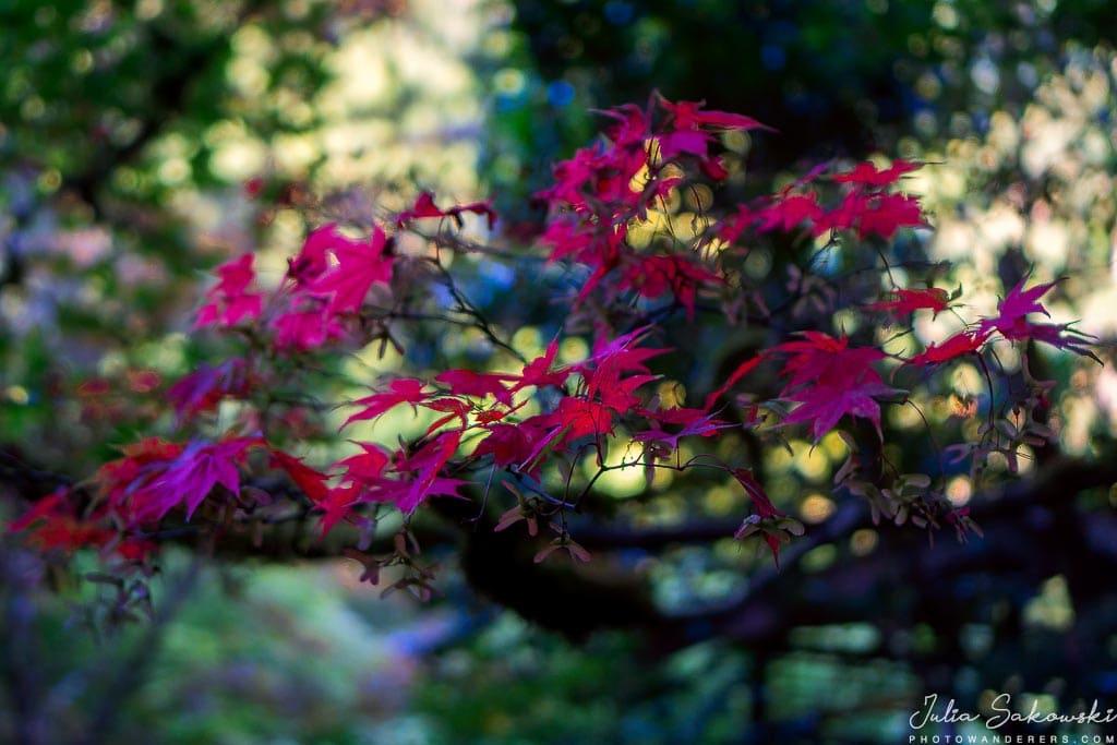 Японский клен, Butchart Gardens