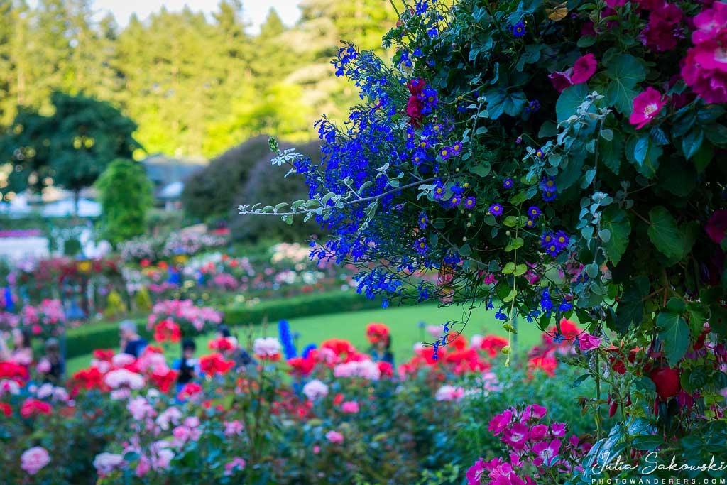 Разноцветье розария