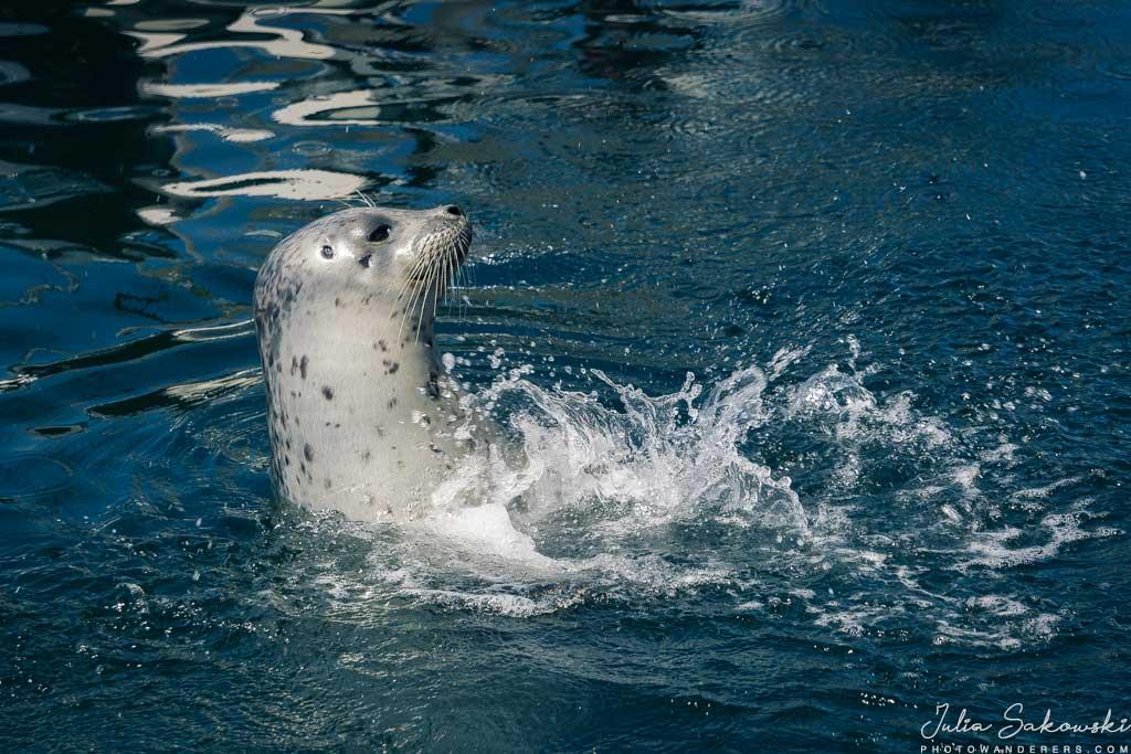 Тюлень попрошайка