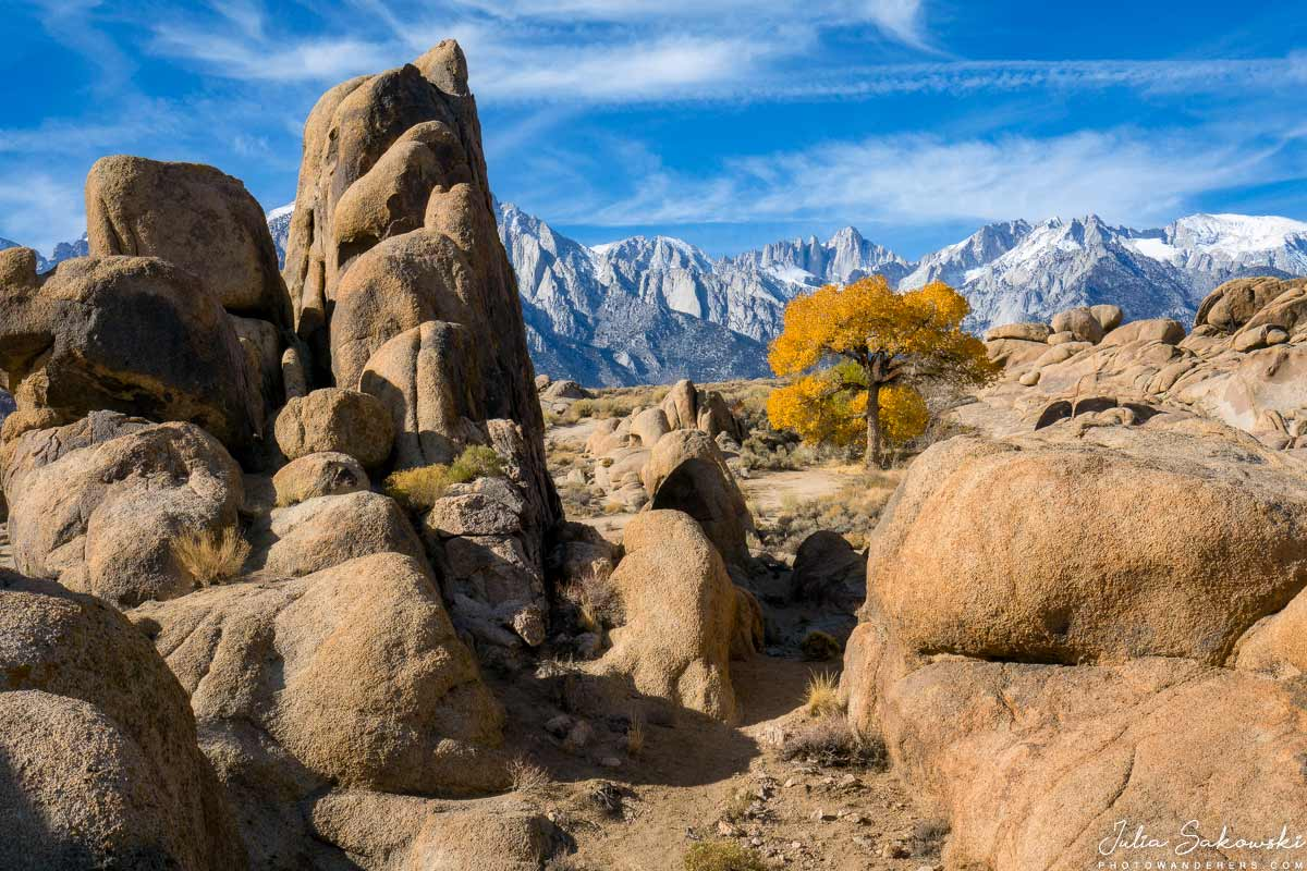 Желтый тополь Алабама-Хиллс | Yellow cottonwood tree in the middle of Alabama Hills