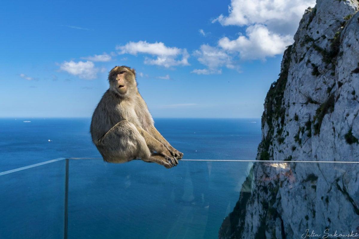 Макакa Магот, Гибралтар | Magot Monkey, Gibraltar