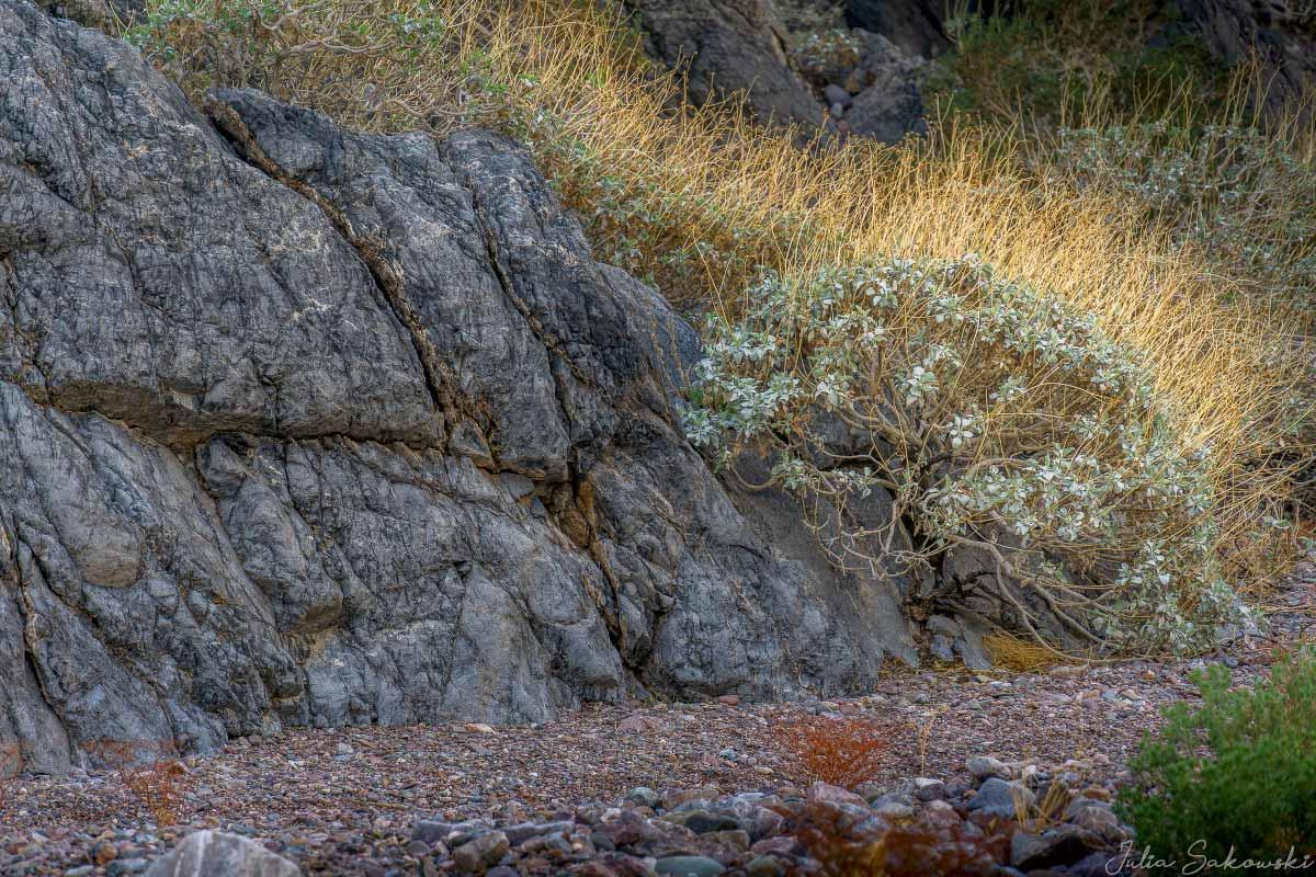 Куст Бриттлбуш в каньоне Эхо