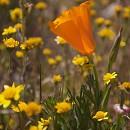 Мак среди ластений (Lasthenia californica)