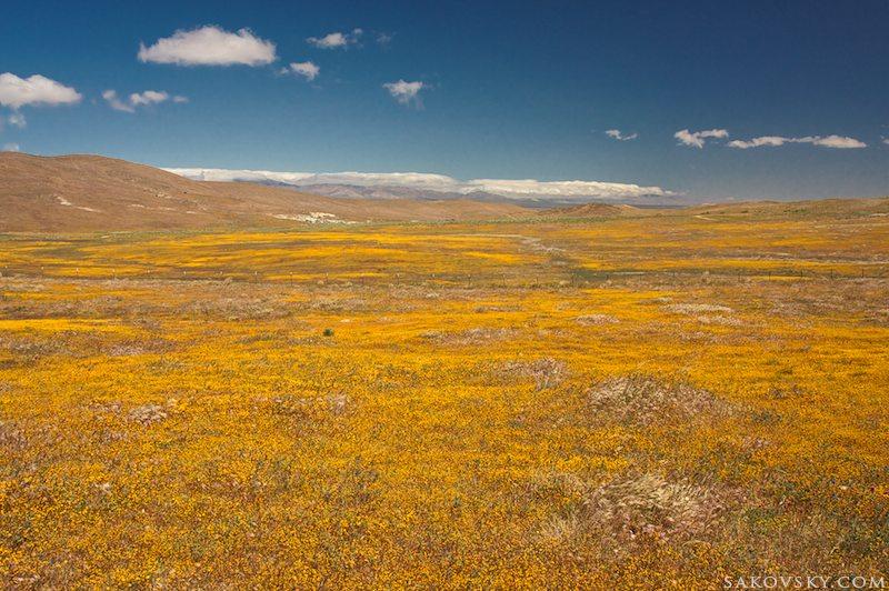 Золотое поле (Ластения калифорнийская | Lasthenia californica)