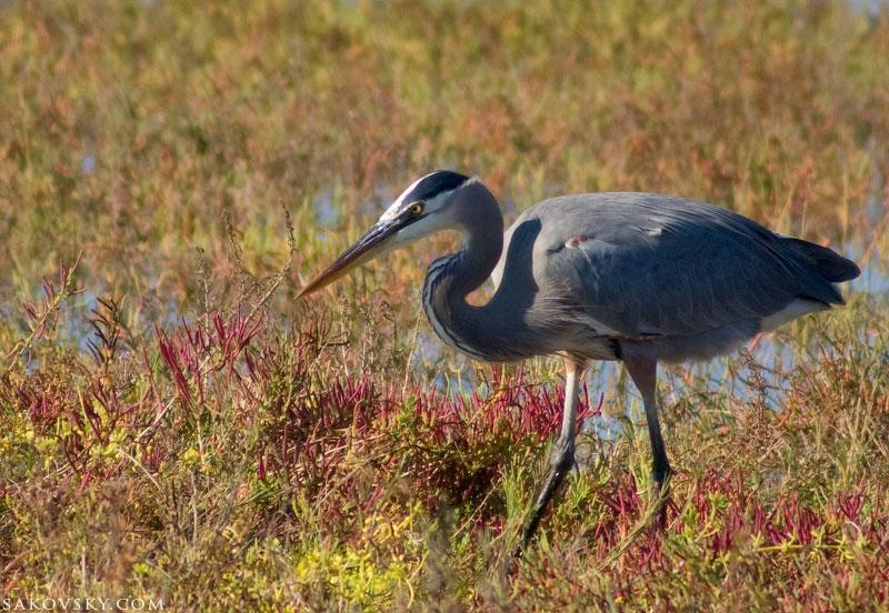 Голубая цапля (Great Blue Heron)