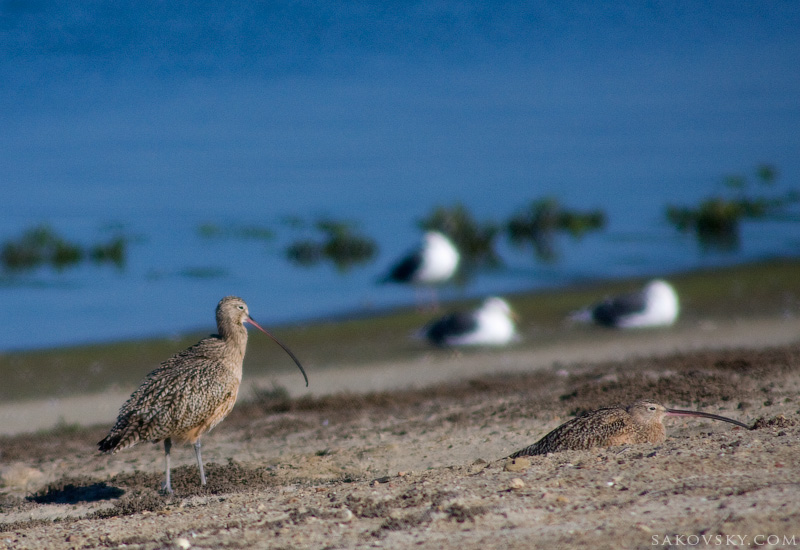 Большой кроншнеп (Long-billed Curlew)