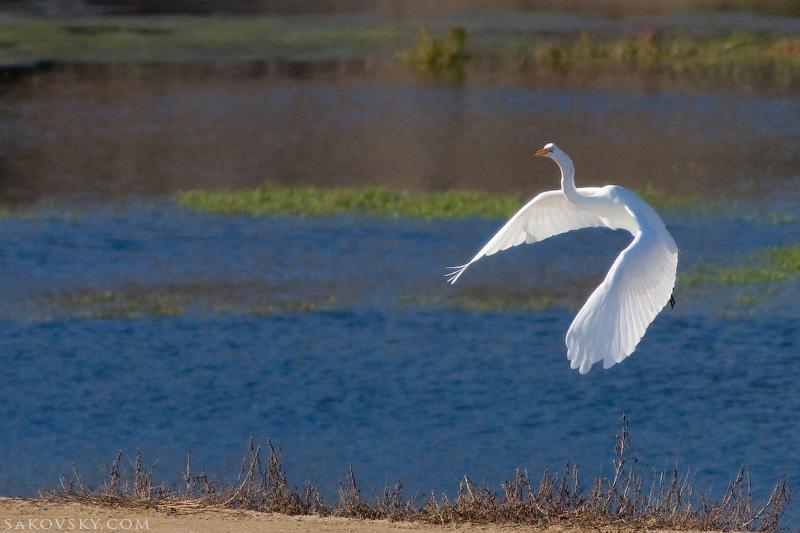 Большая белая цапля (Great Egret). Грация