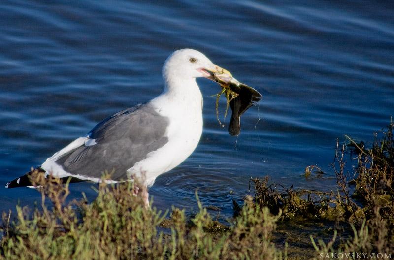 Калифорнийская чайка (California Gull) с добычей
