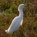 Снежная цапля (Snowy egret)