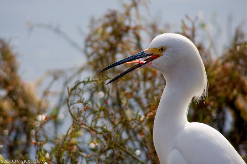 Снежная цапля (Snowy egret) показывает язык