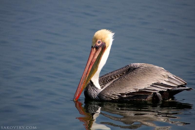 Коричневый пеликан (Brown pelican)