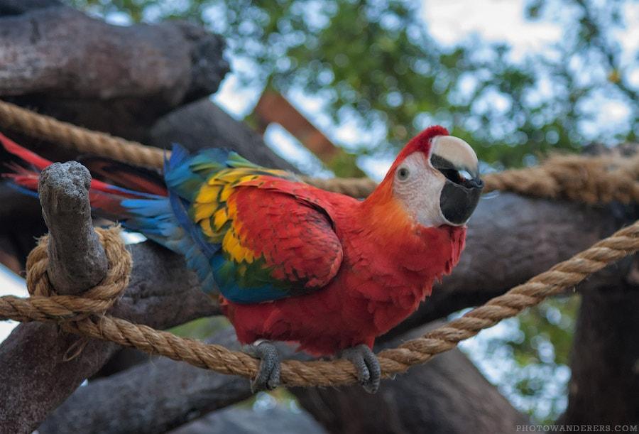 Разноцветный попугай ара