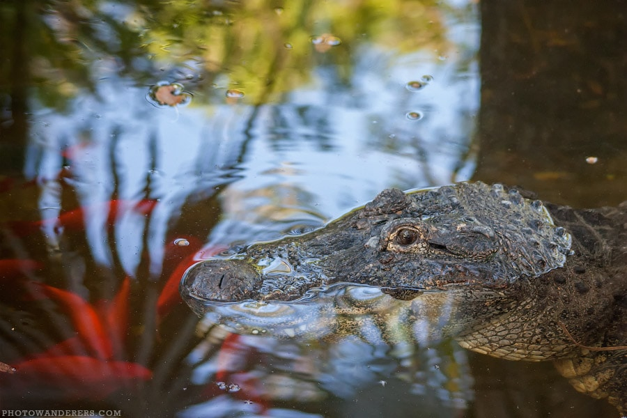 Аллигатор и зеркальные карпы