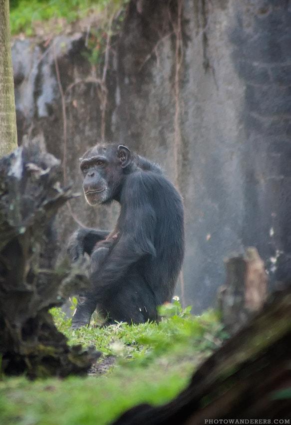 Мечтательная Шимпанзе