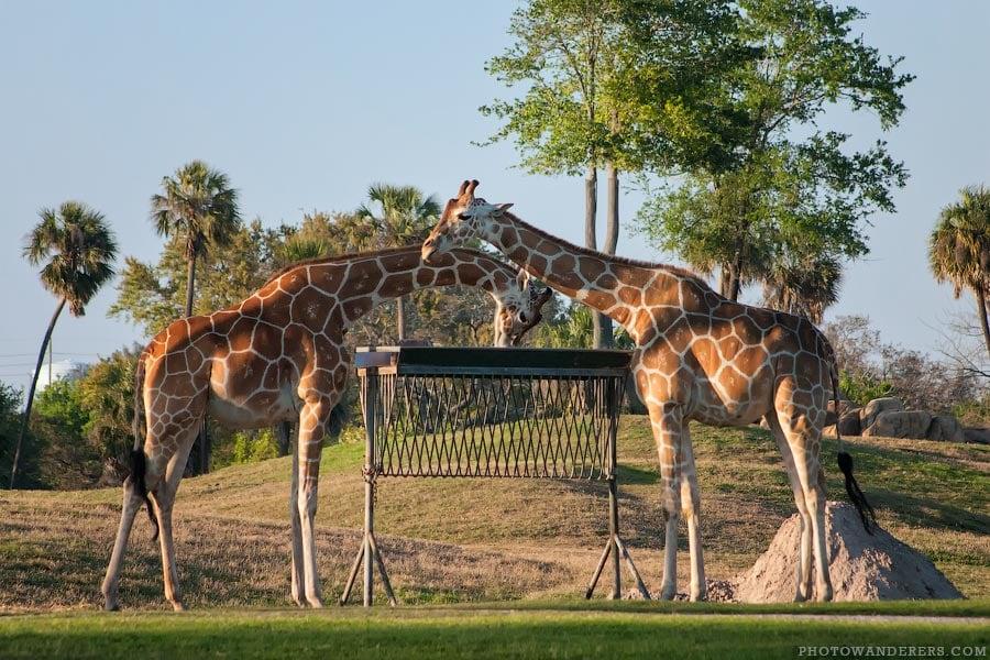 Жирафы на Равнине Серенгети (Serengeti Plain)