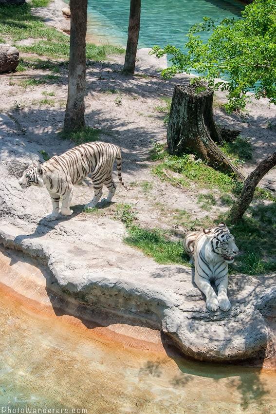 Белые бенгальские тигры