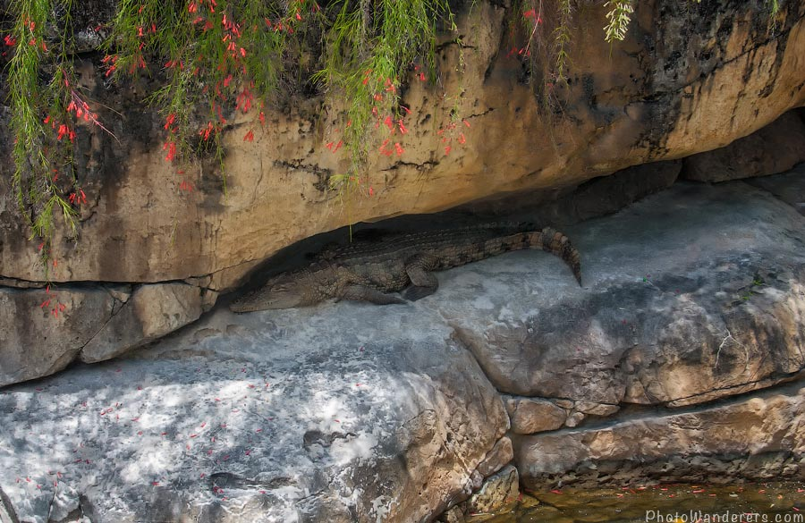 Типичная флоридская сцена - куда не посмотри, увидишь аллигатора