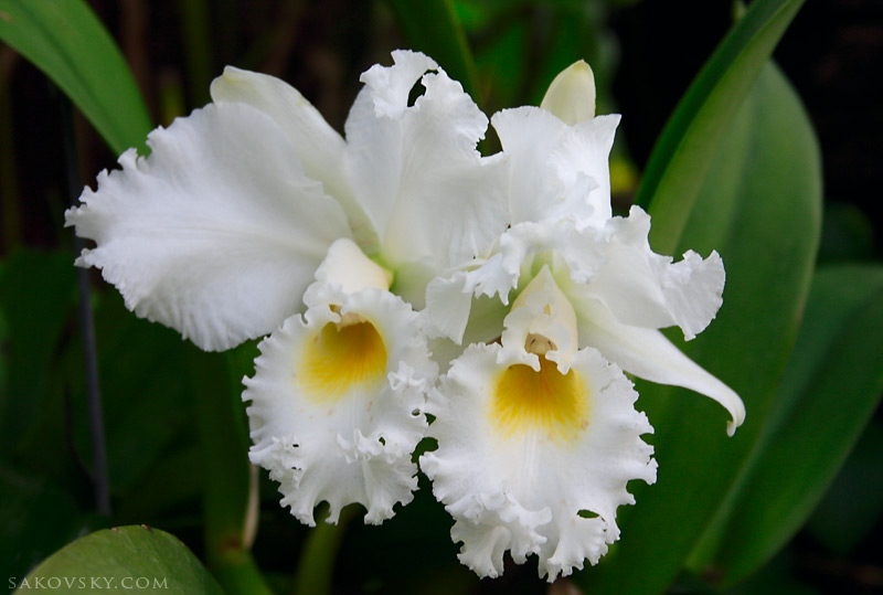 Орхидеи (Cattleya warneri var. alba)