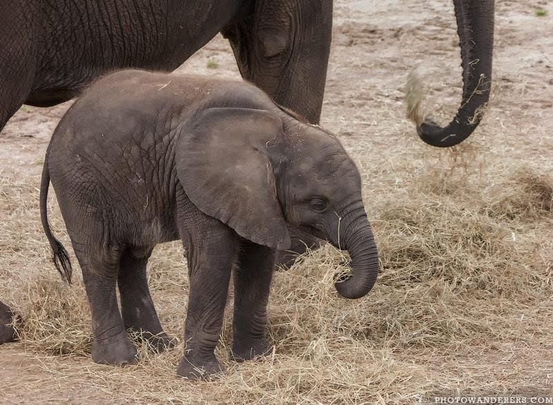 Слоненок Тамани