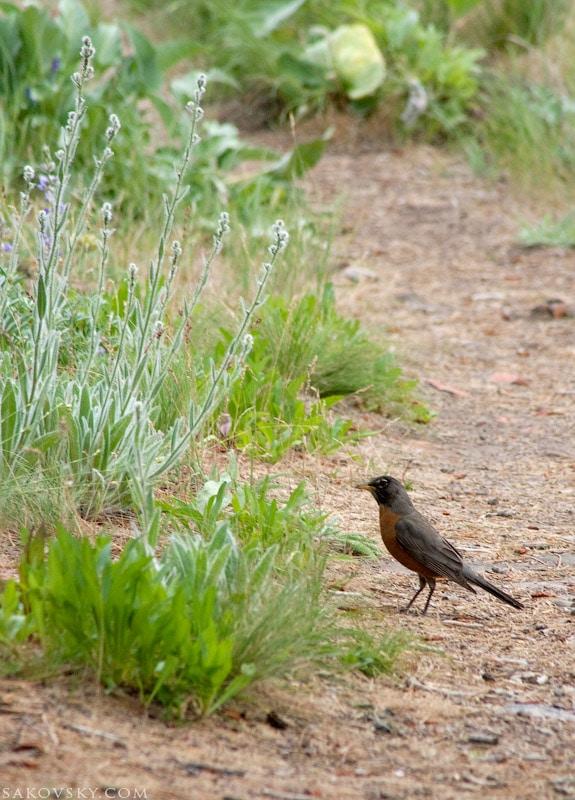 Странствующий дрозд | Amercan robin