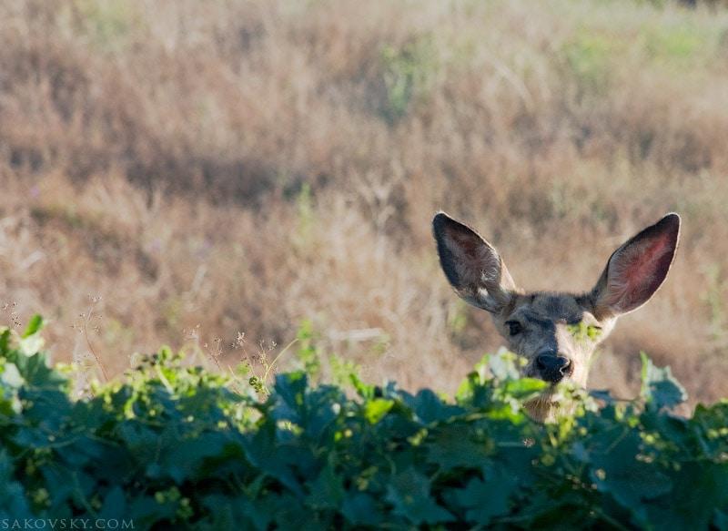 Любопытная косуля | Roe deer