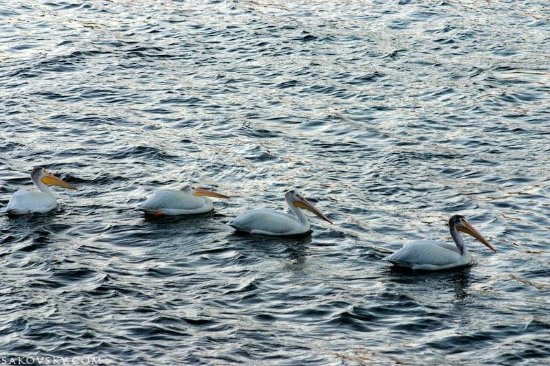 Пеликаны на Lower Granite Lake