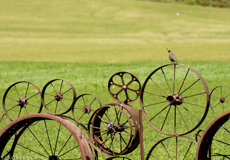 Перепел на заборе из колес