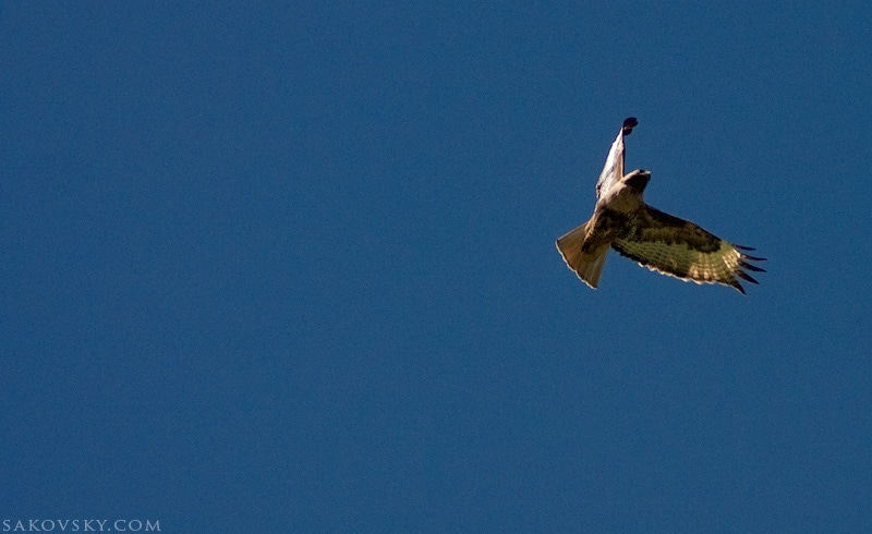 Ястреб | Hawk