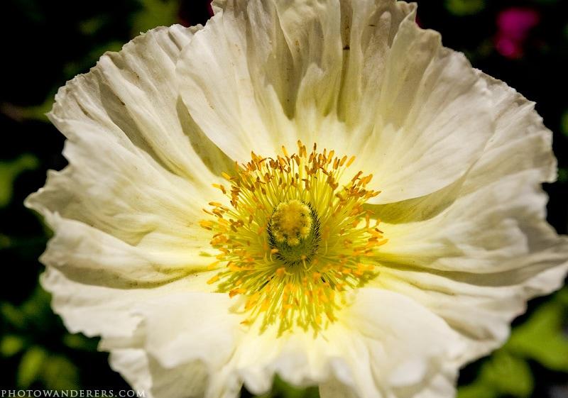 Цветок белого мака