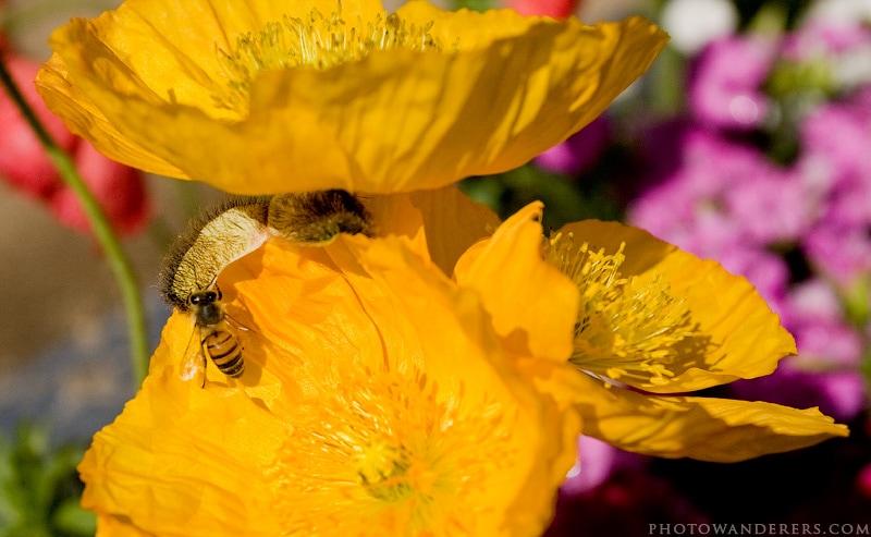 Пчела на желтом маке