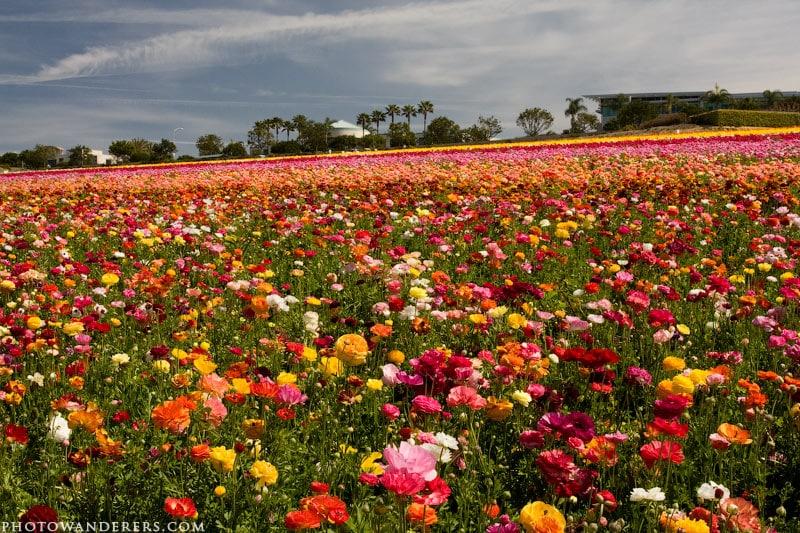 Разноцветие лютиков. Цветочные поля Карлсбада