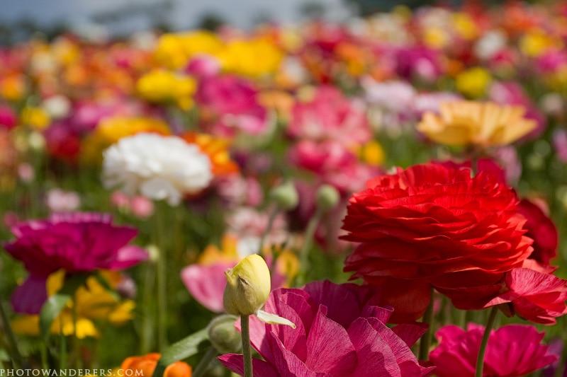 Алый лютик на многоцветном поле