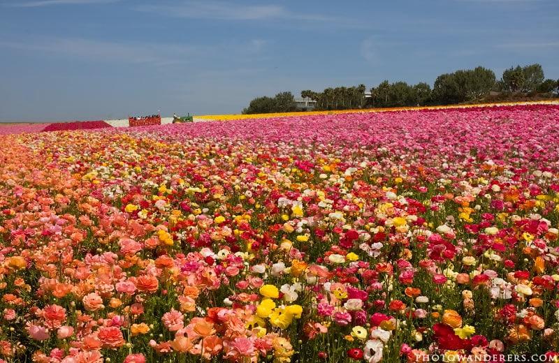 Цветочные поля Карлсбада (Flower Fields)