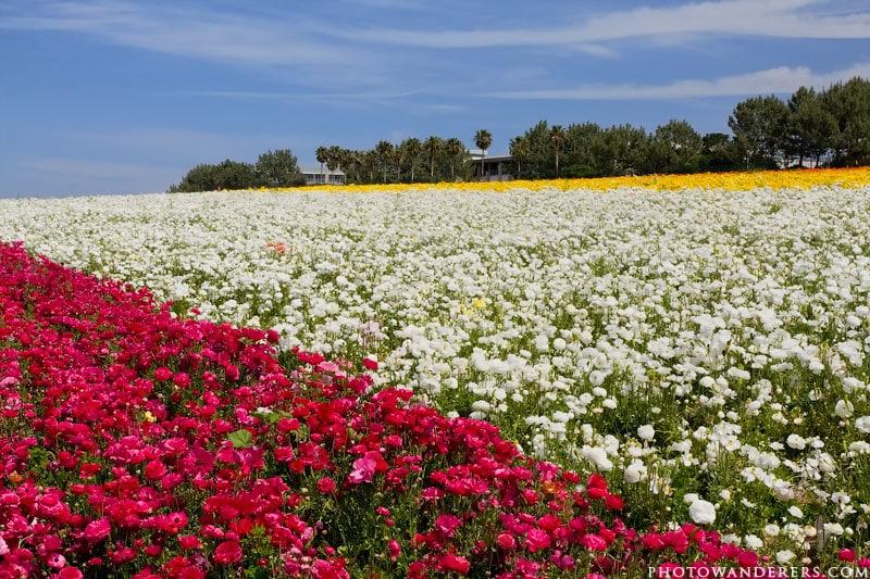 Три поля - пурпурное, белое и желтое