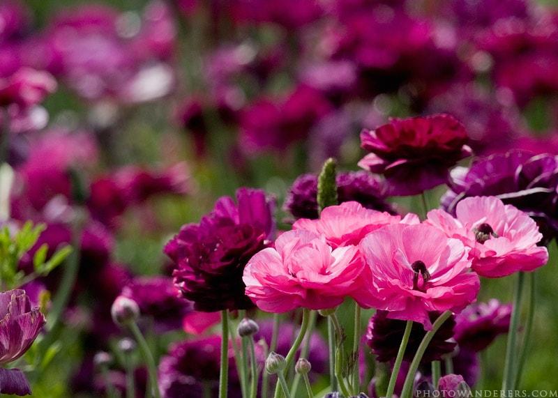 Розовый на пурпуре