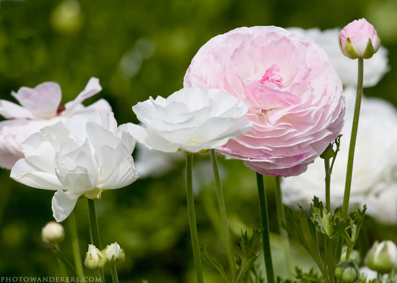 Нежно-розовый и белый