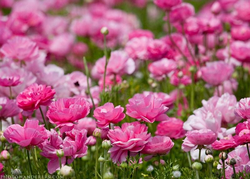 Розовая долина
