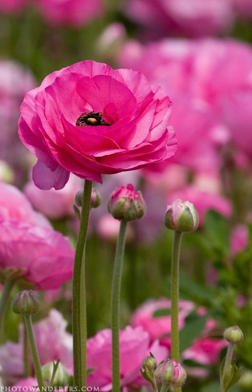 Бутоны и цветок