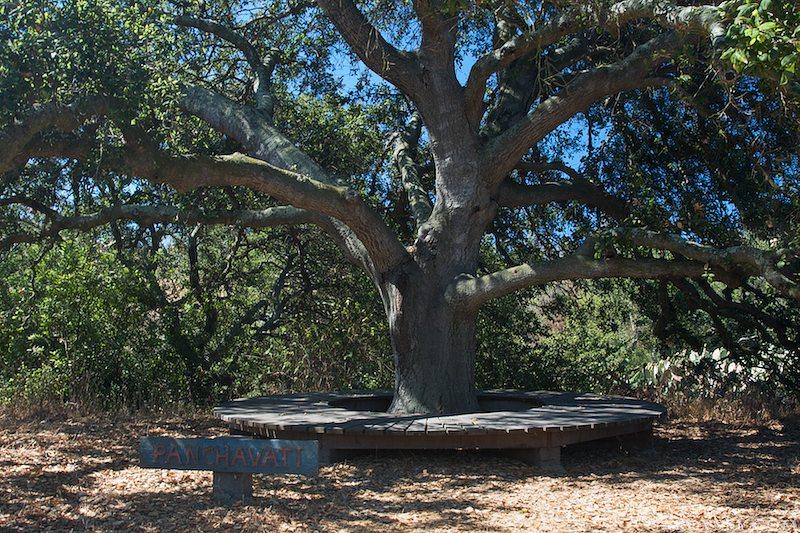 Священное дерево в местном Панчавати