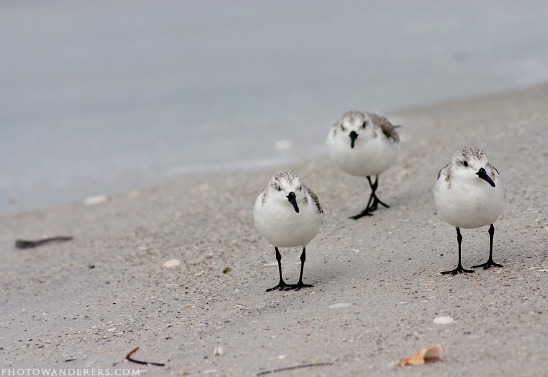 Морские зуйки | Snowy Plovers, пляж Десото, Флорида