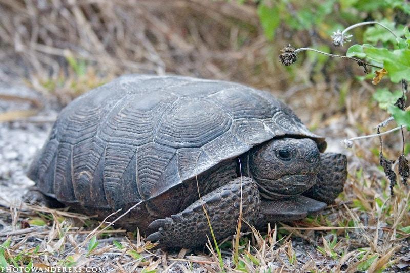 Черная черепаха, Honeymoon island, Florida