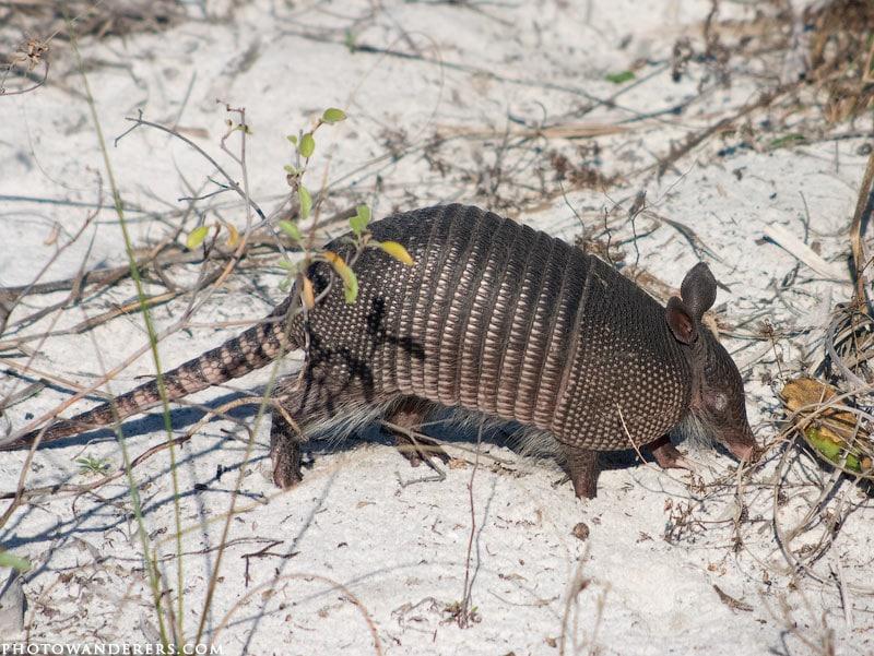 Броненосец на острове Каладези, Caladesi Island, Florida