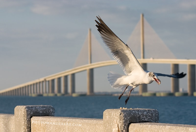 Чайка на фоне моста Sunshine Skyway Bridge